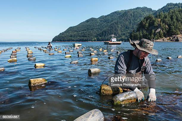 Oyster farmers harvest at lowering tide.