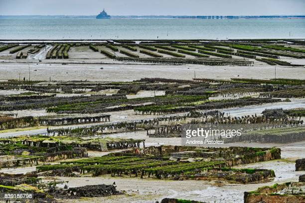 oyster farming in cancale, brittany, france - cancale photos et images de collection