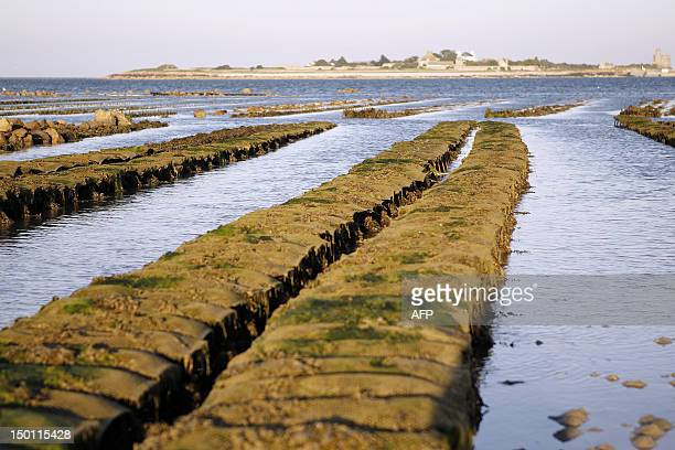 Oyster farming nets are pictured on August 10 2012 in SaintVaastlaHougue northwestern France Fishing and selling of mussels and oysters have been...