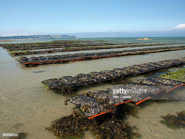 Oyster farming,Gorey,Jersey.