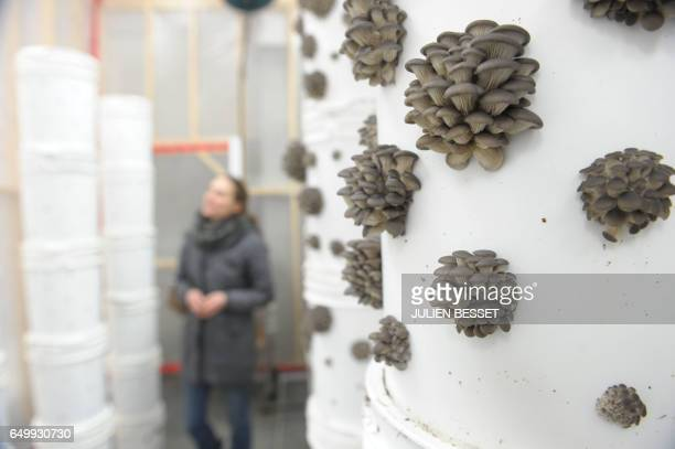 Oyster mushrooms ere seen growing in one of the six greenhouses of Montreal urban mushroom farming startup Blanc de Gris on January 17 2017 in...