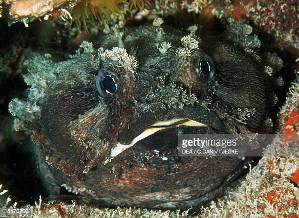 Oyster or Atlantic Toadfish , Batrachoididae.