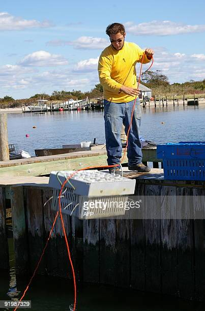 Oyster worker Tyler Lovece hauls in Blue Point oyster crates at Blue Island Shellfish Farms in Blue Point New York October 14 2009 Separated from the...