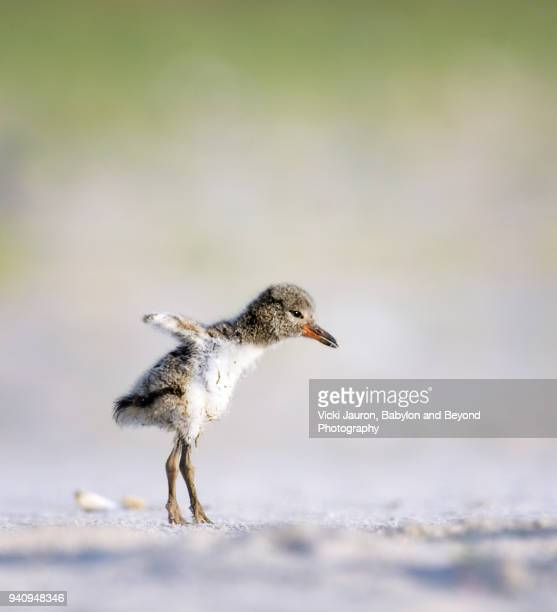 oystercatcher chick testing wings at nickerson, long island - wader bird stock photos and pictures
