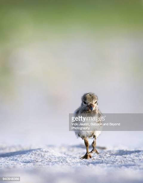 oystercatcher chick walking toward camera at nickerson beach - wantagh stock pictures, royalty-free photos & images