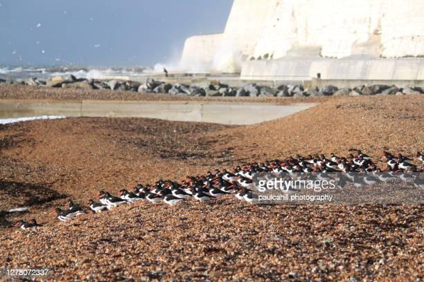 oystercatchers on saltdean beach - saltdean stock pictures, royalty-free photos & images