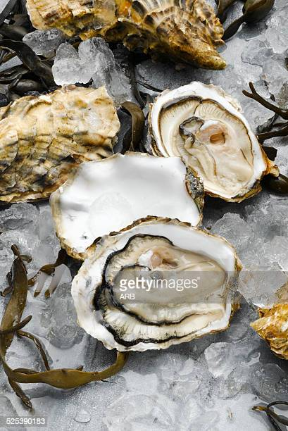 Oysters and seaweed on ice