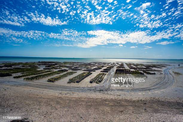oysters growing in the bay of cancale (low tide), brittany - ille et vilaine stock pictures, royalty-free photos & images
