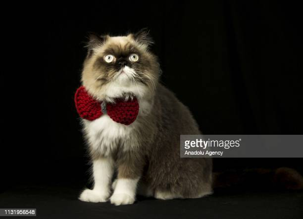 Ozi a Persian mixbreed cat is seen with its red bowtie made by its owner in Ankara Turkey on Mach 14 2019