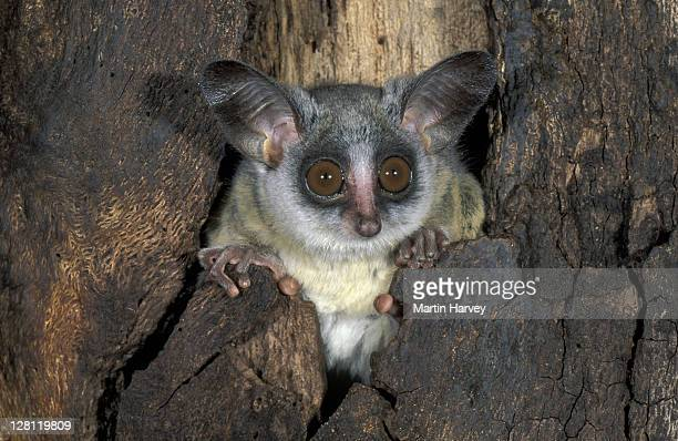 pa057-509e lesser bushbaby, galago senegalensis. uses tree holes for shelter. central & south australia - bush baby stock photos and pictures