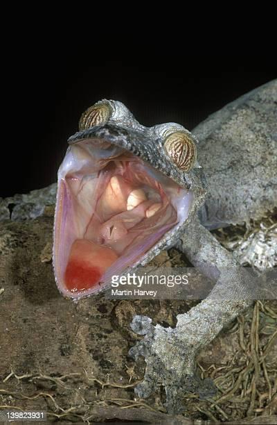 pa142-504e madagascar. leaf-tailed gecko.uroplatus fimbriatus. when alarmed mouth opens; red interior. - uroplatus fimbriatus foto e immagini stock