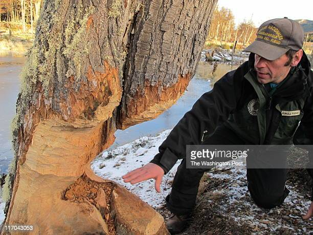 Pablo Kunzle park ranger in Tierra del Fuego National Park on ArgentinaâTs southernmost fringe shows off the trunk of a tree whittled down by beavers...
