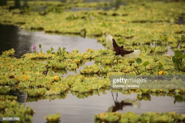 pacaya samiria national reserve - iquitos - peru - hoatzin stock pictures, royalty-free photos & images