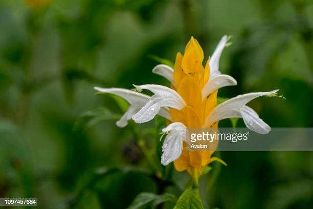 Pachystachys lutea known by the common names lollipop plant and golden shrimp plant in a garden in Mindo near Quito Ecuador