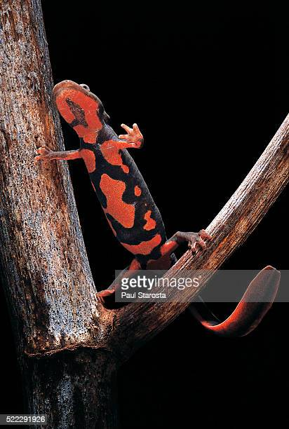 Pachytriton breviceps