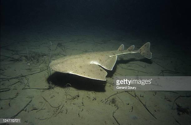 pacific angel shark,squatina californica, swimming, channel isles, usa