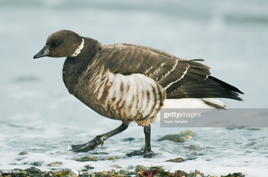 Pacific Black Brant (Branta bernicla nigricans) Puget Sound, Washington MARCH : Stock Photo