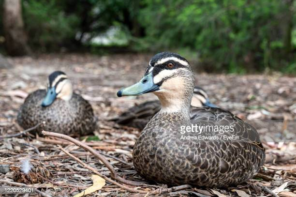 pacific black duck, anas superciliosa, resting amongst fallen leaves, kennett river, australia - victoria australia stock pictures, royalty-free photos & images