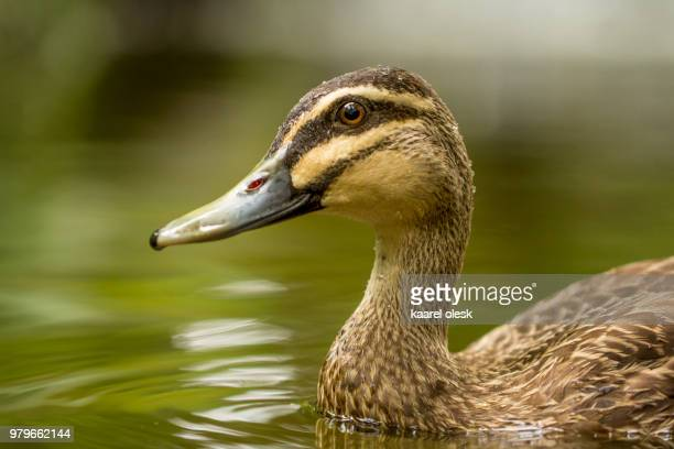 pacific black duck (anas superciliosa) in water, australia - one animal stock pictures, royalty-free photos & images