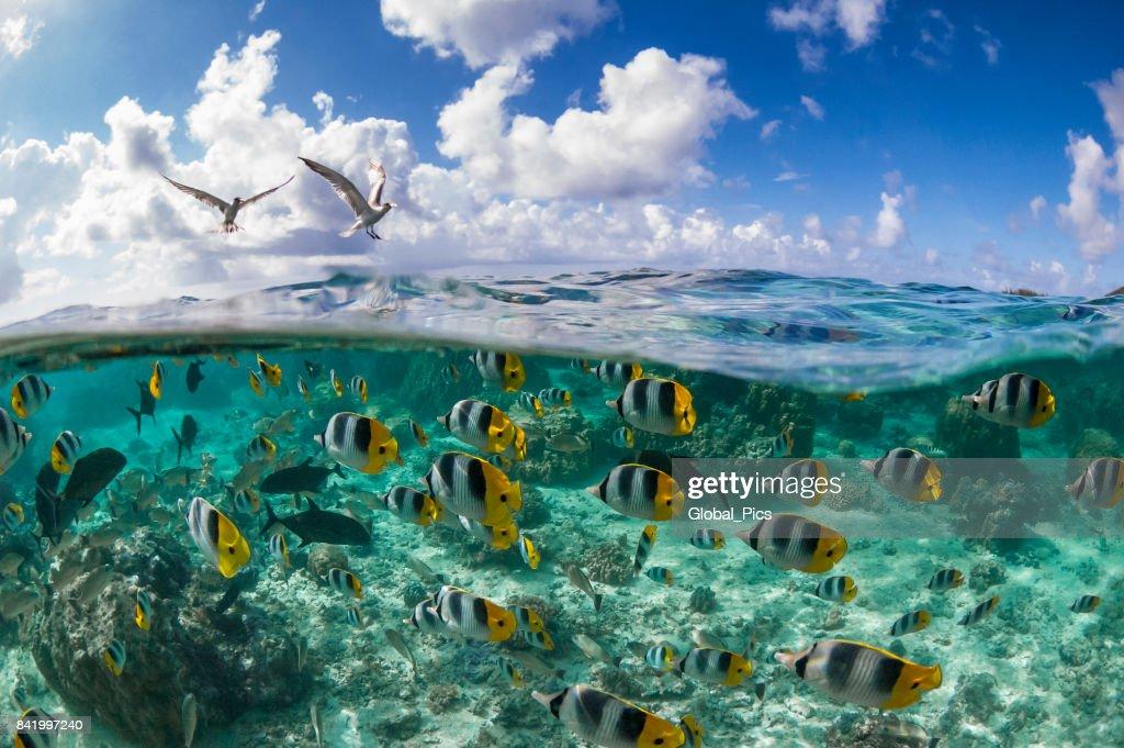 太平洋ダブル セグロチョウチョウウオ (チョウチョウウオ ulietensis) : ストックフォト