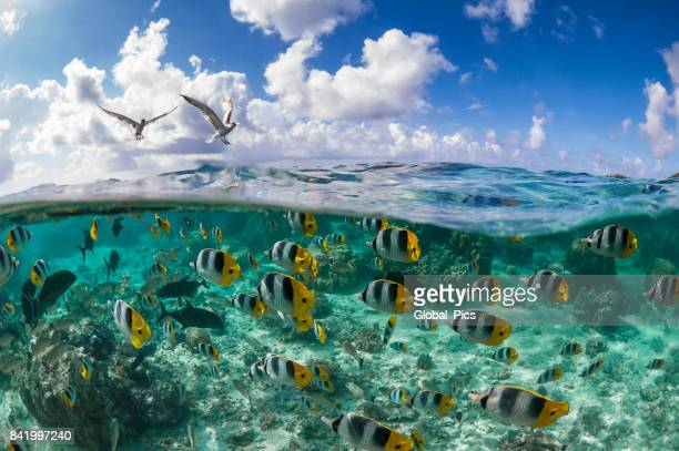 pacific double-saddle butterflyfish (chaetodon ulietensis) - reef stock pictures, royalty-free photos & images