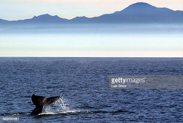 A Pacific gray whale swims past fog–shrouded Santa Catalina Island on its southward migration to warm water breeding grounds in Baja Mexico