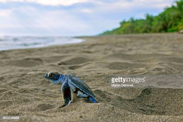 pacific green turtle or green sea turtle (chelonia mydas), juvenile on way to sea, caribbean, costa rica - hatching stock photos and pictures