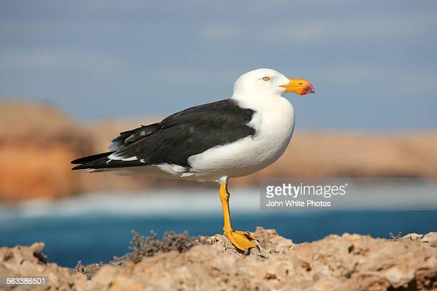 Pacific Gull standing on a rock. Australia