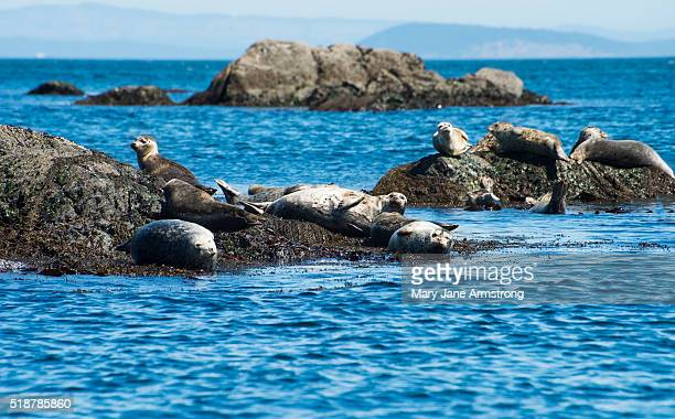 Pacific Harbor Seals, Sea Lions, and Northern Elephant Seal