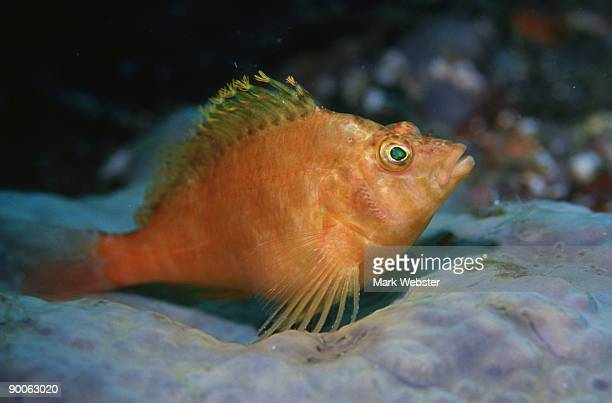 pacific hawkfish: cirrihitichthys aureus  cheju island, sout h korea - the webster stock pictures, royalty-free photos & images