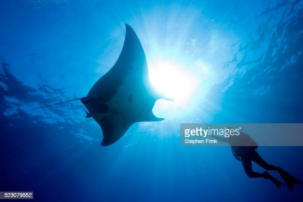 Pacific Manta and Scuba Diver