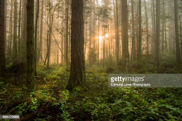 pacific northwest forest on a foggy morning. - woodland stock pictures, royalty-free photos & images