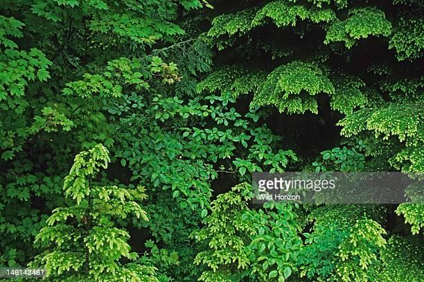 Pacific Northwest tapestry of temperate rainforest foliage western hemlock red alder vine maple western redcedar and Pacific dogwood Hemlock Tsuga...