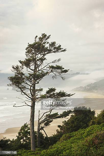 Pacific Ocean Northwest Coast Tree