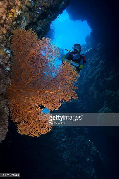 Pacific Ocean, Palau, scuba diver in coral reef with Giant Fan Coral