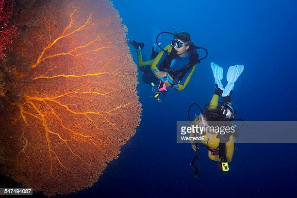Pacific Ocean, Palau, scuba divers in coral reef with Giant Fan Coral