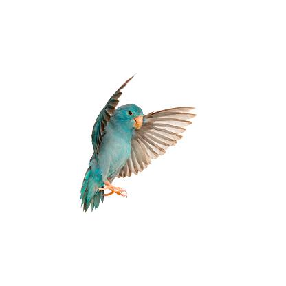 Pacific Parrotlet, Forpus coelestis, flying against white background 956962648