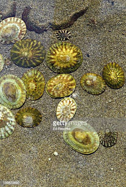 pacific plate limpets, notoacmaea scutum, in tidepool at low tide, olympic national park, washington, usa - limpet stock pictures, royalty-free photos & images