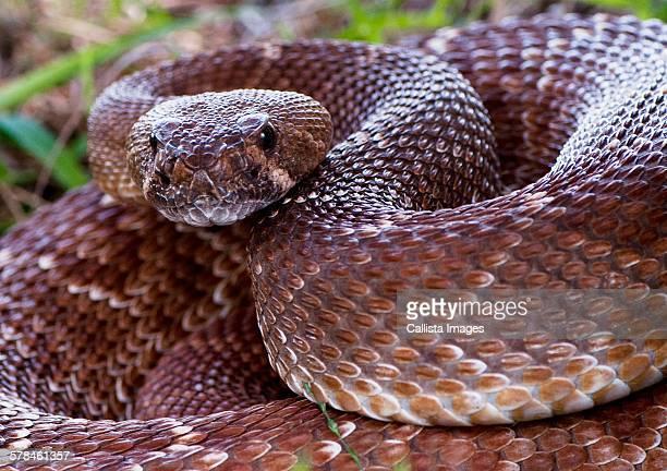 Pacific rattlesnake, (Crotalus oreganus), California, USA