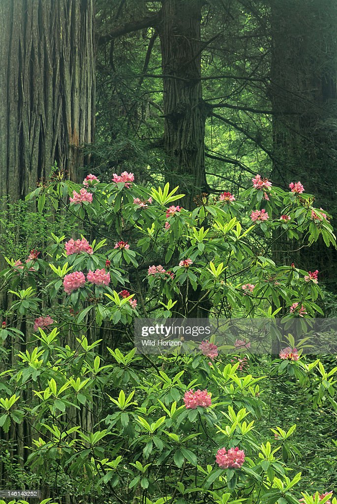 Pacific Rhododendron flowering within a forest of redwood trees Rhododendron macrophyllum Prairie Creek Redwoods State Park, California, USA : News Photo