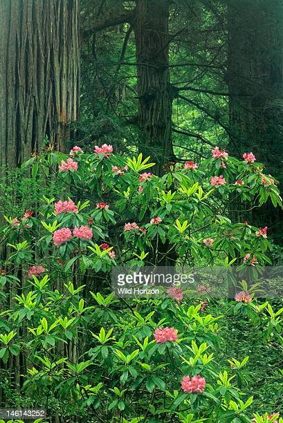 Pacific Rhododendron flowering within a forest of redwood trees Rhododendron macrophyllum Prairie Creek Redwoods State Park California USA