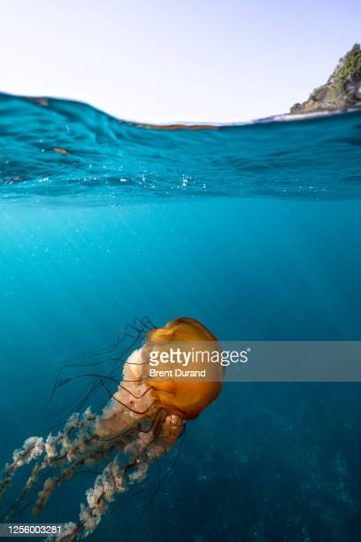 pacific sea nettle (chrysaora fuscescens) split view - pacific ocean stock pictures, royalty-free photos & images