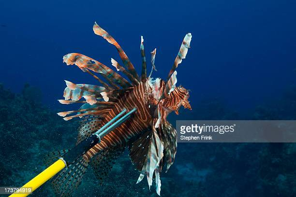 pacific species in caribbean sea. - exotic_species stock pictures, royalty-free photos & images