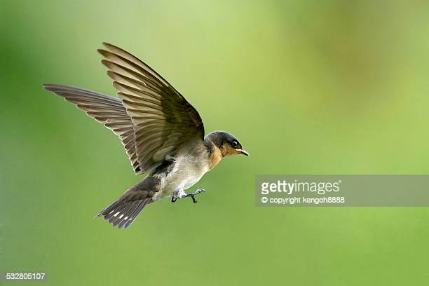 pacific swallow in flight - swallow bird stock pictures, royalty-free photos & images