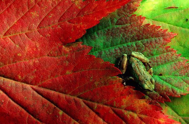 Pacific tree frog (Hyla regilla) on maple leaf