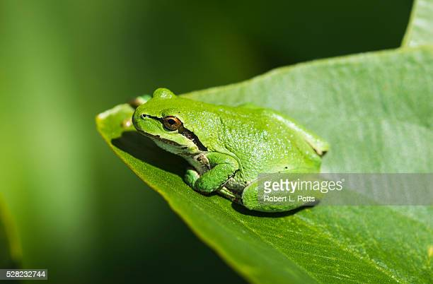 A Pacific Tree Frog (Pseudacris regilla) rests on a Wapato Leaf; Astoria, Oregon, United States of America