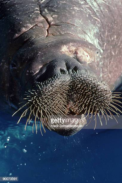 pacific walrus - animal whisker stock pictures, royalty-free photos & images