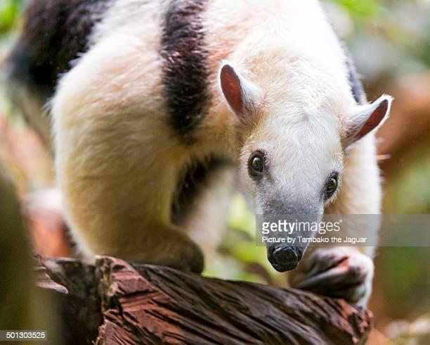 pacing southern tamandua - tamandua anteater stock pictures, royalty-free photos & images