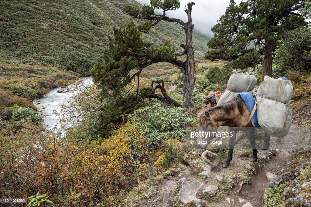 Pack animal carrying bags en route to Rodophu, Gasa District, Snowman Trek, Bhutan : Stock Photo