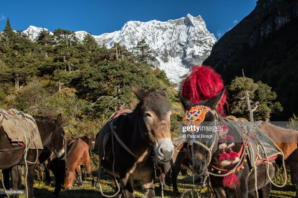 Pack animals at the foot of the Gangchhenta from Lemithang camp, Gasa District, Snowman Trek, Bhutan : Stock Photo